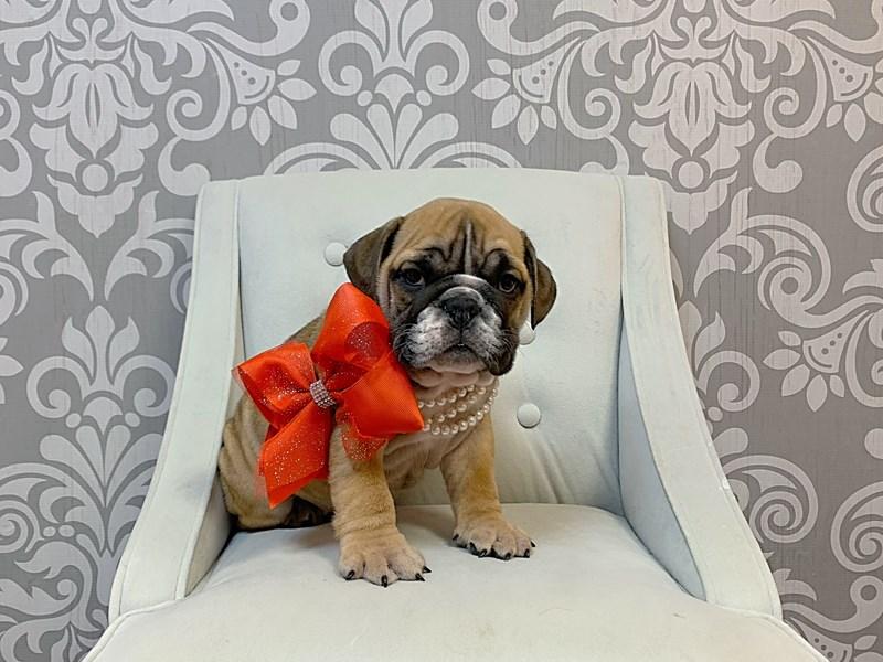 English Bulldog-Female--2920321-Furry Babies
