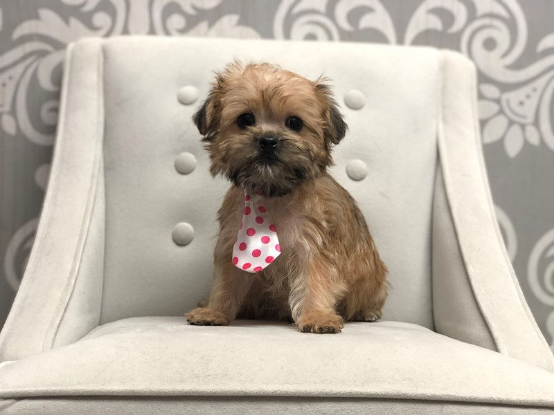 Morkie-Male-Gold-2919491-Furry Babies