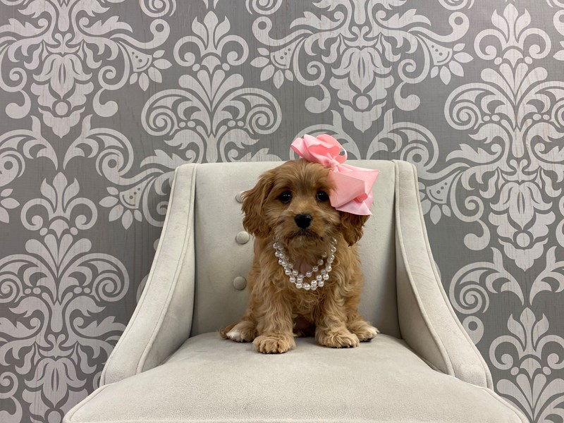 Cavachon-Female-Red-2917282-Furry Babies