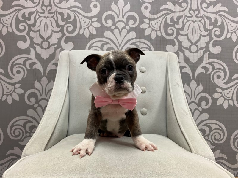 Boston Terrier-Male-Blue and White-2924841-Furry Babies