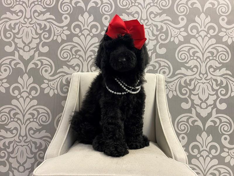 Poodle-Female-Black-2934970-Furry Babies