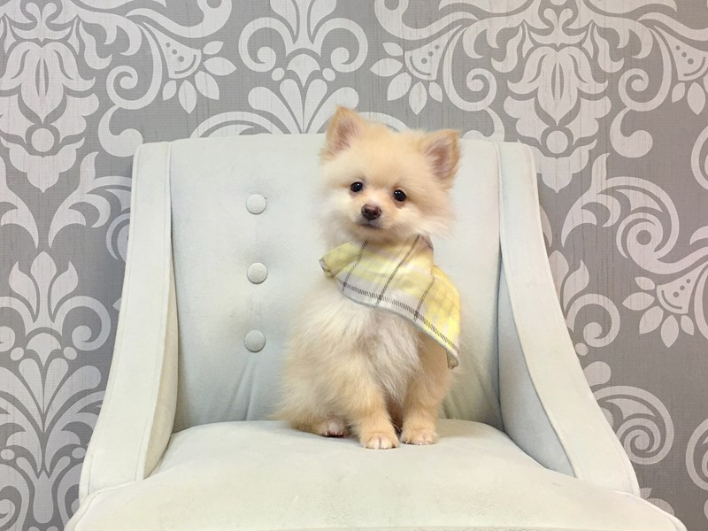 Pomeranian-Male--2935185-Furry Babies
