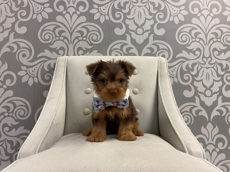Yorkshire Terrier-Male-Chocolate & Tan-2932530-Furry Babies