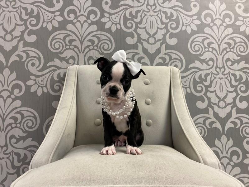 Boston Terrier-Female-Brindle & White-2934985-Furry Babies