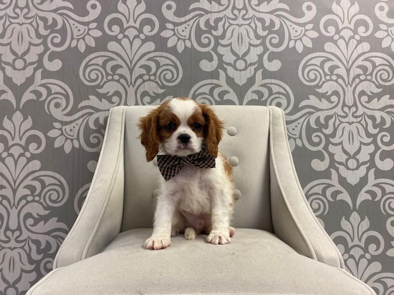 Cavalier King Charles Spaniel-Male-Blenheim-2942870-Furry Babies