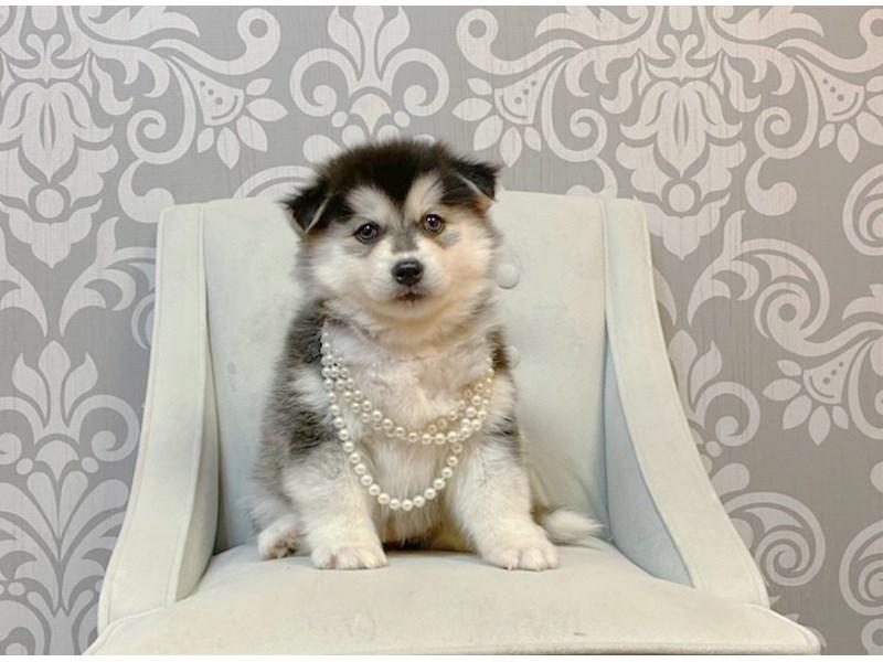 Pomsky-Female-BLK WHITE-2947215-Furry Babies