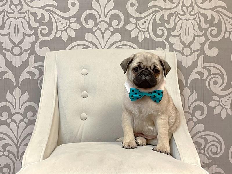 Pug-Male-FAWN WHITE-2925105-Furry Babies