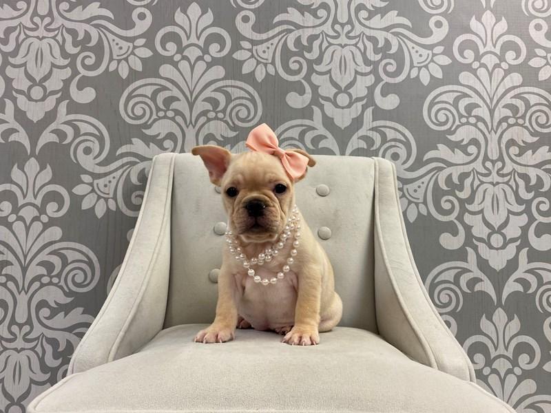 French Bulldog-Female-Cream-2927672-Furry Babies