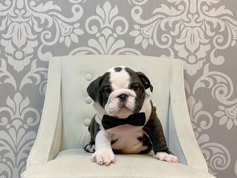 English Bulldog-Male--2927903-Furry Babies