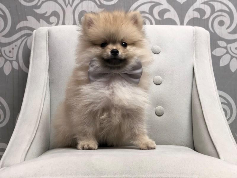 Pomeranian-Male-Creme Sbale-2934949-Furry Babies