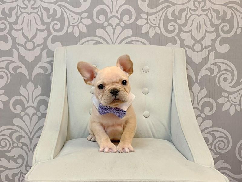 French Bulldog-Male--2942561-Furry Babies
