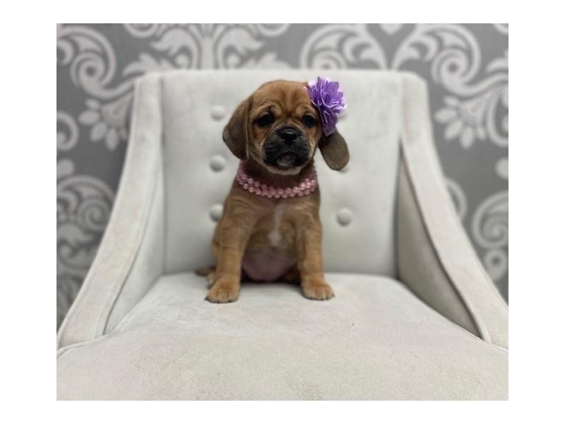 Puggle-Female-Fawn-2942604-Furry Babies