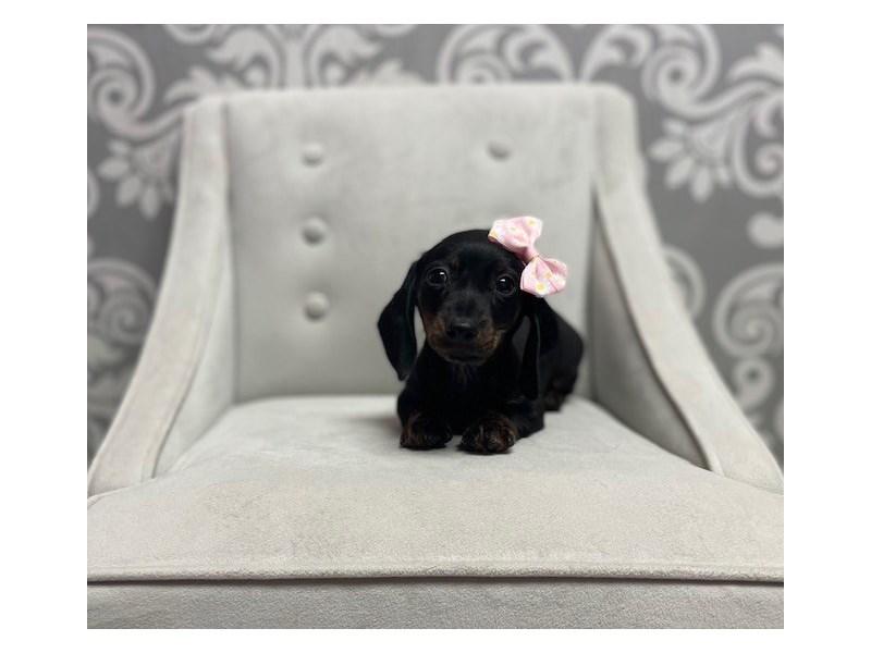 Dachshund-Female-Black and Tan-2942602-Furry Babies