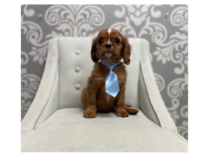 Cavalier King Charles Spaniel-Male-Ruby-2942631-Furry Babies
