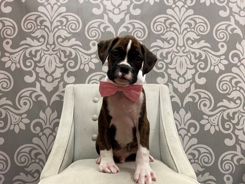 Boxer-Male-Brindle & White-2943259-Furry Babies
