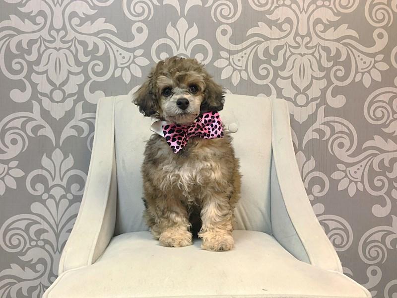 Poodle-Male--2950230-Furry Babies