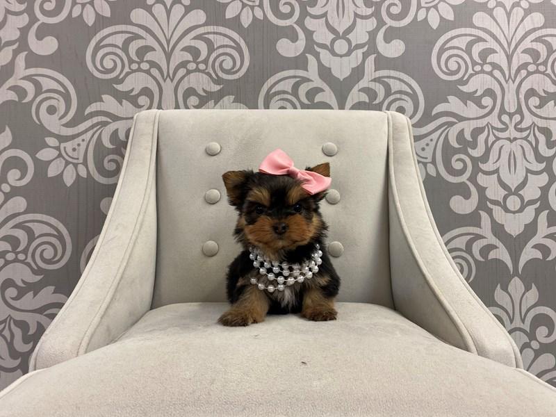 Yorkshire Terrier-Female-Blk tan-2947329-Furry Babies