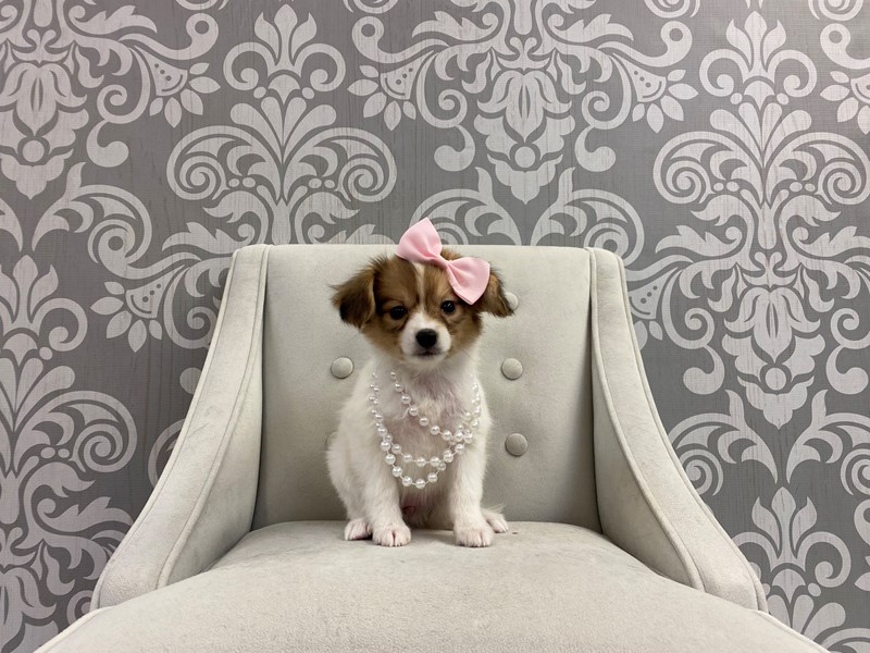 Papillon-Female-sable wh-2947467-Furry Babies