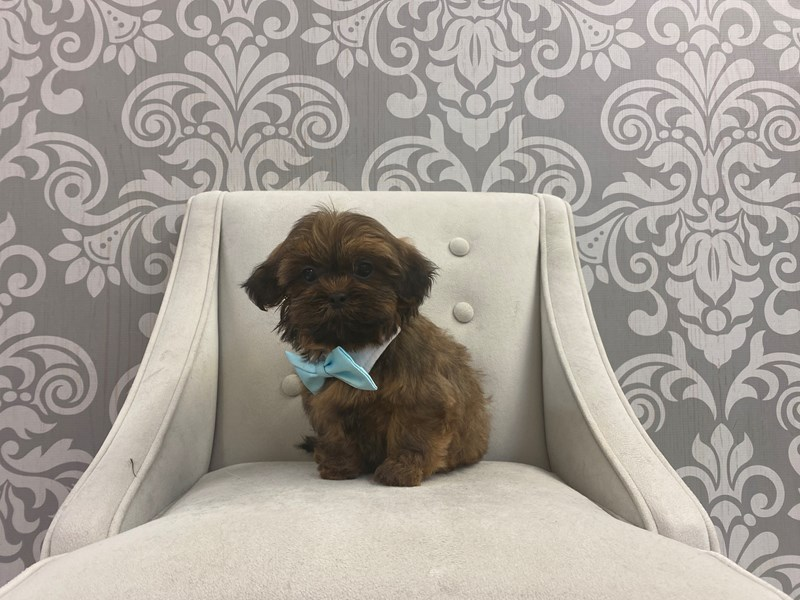 Shih Tzu-Male-Golden-2950377-Furry Babies