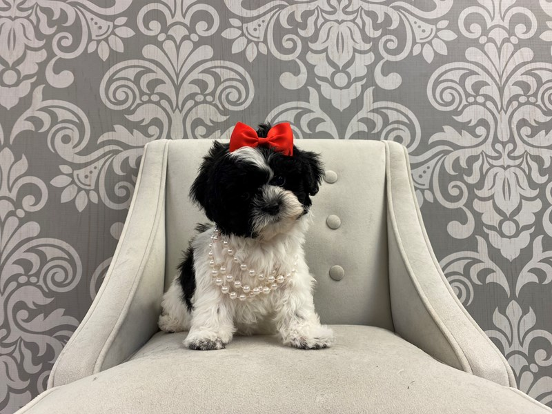 Shih Poo-Female-Black and White-2950381-Furry Babies
