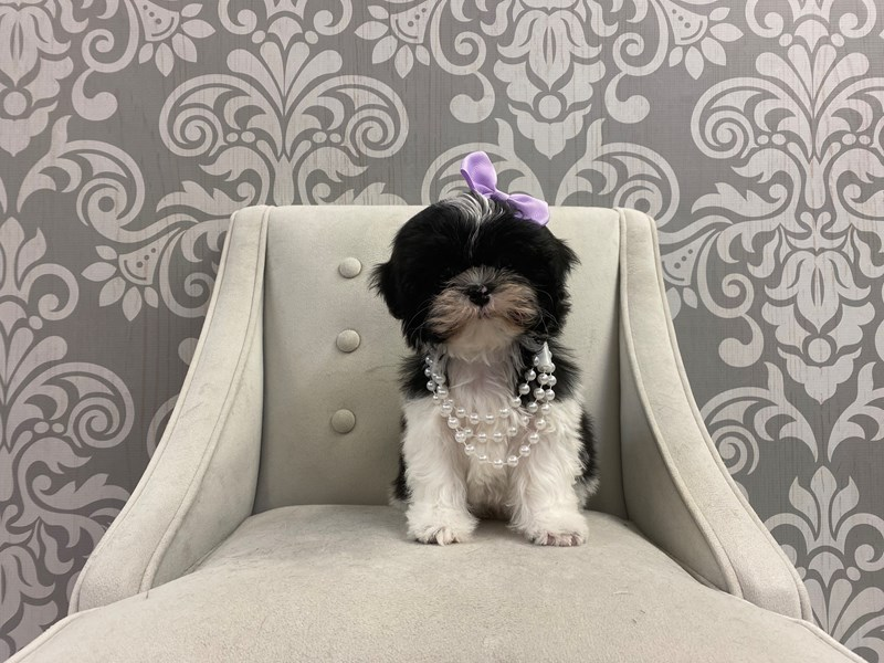 Shih Tzu-Female-Black and White-2950382-Furry Babies