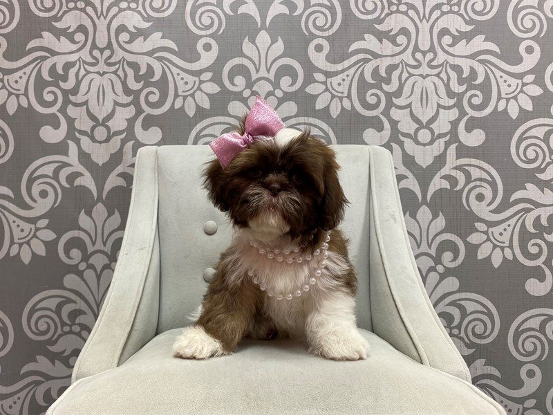 Shih Tzu-Female-BROWN WHITE-2947474-Furry Babies