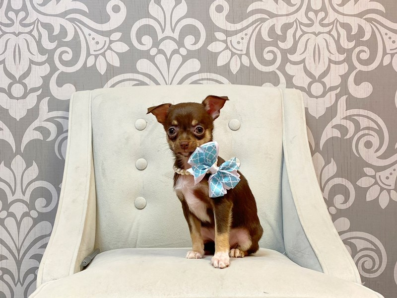 Chihuahua-Female-CHOC TAN-2954743-Furry Babies