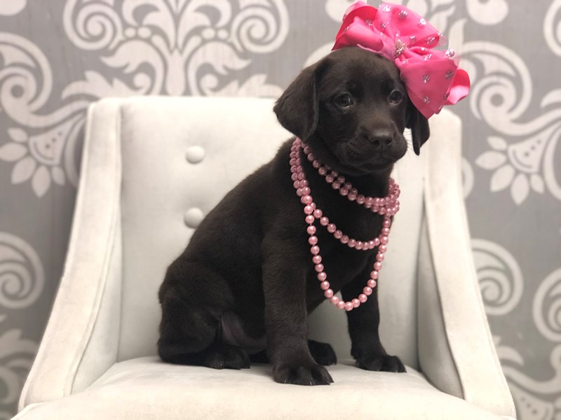 Labrador Retriever-Female-Chocolate-2955894-Furry Babies