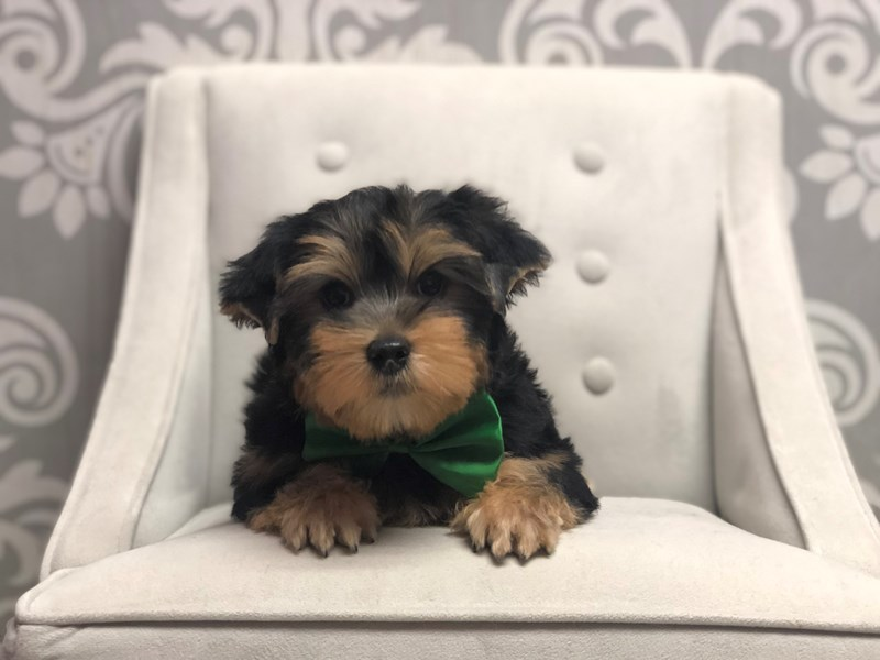 Yorkshire Terrier-Male-Black and Tan-2955892-Furry Babies