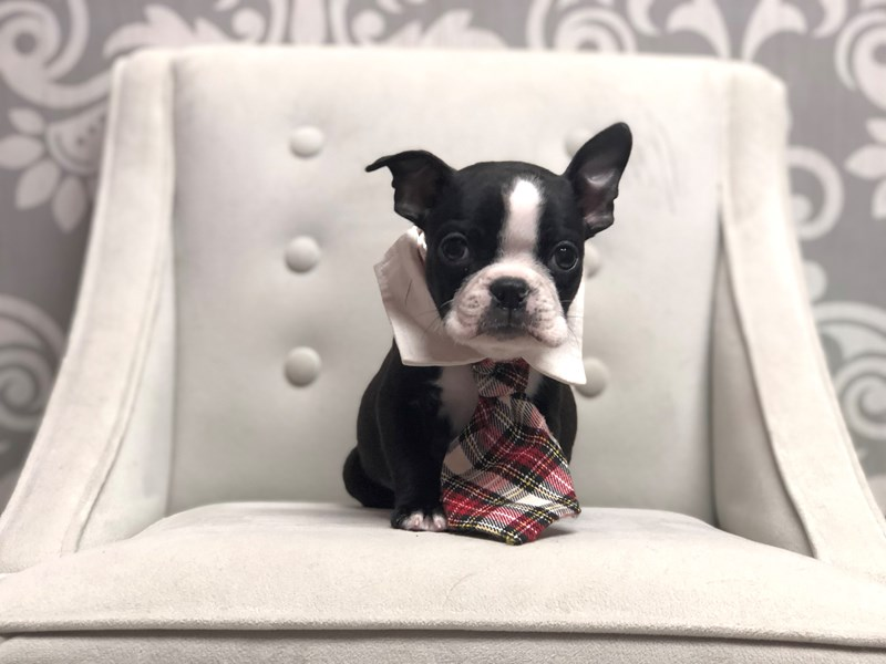 Boston Terrier-Male-Black and White-2955928-Furry Babies