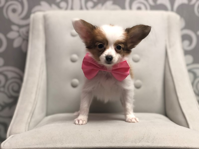 Papillon-Male-SABLE WHITE-2954747-Furry Babies