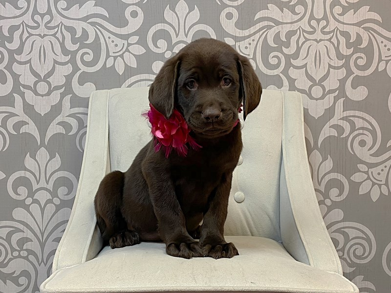 Labrador Retriever-Female-Chocolate-2954775-Furry Babies