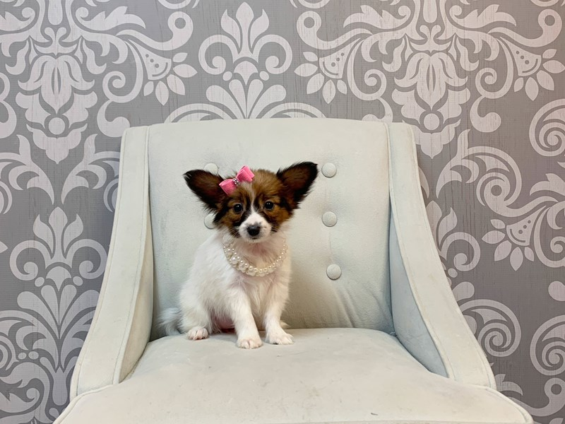 Papillon-Female-SABLE WHITE-2954750-Furry Babies