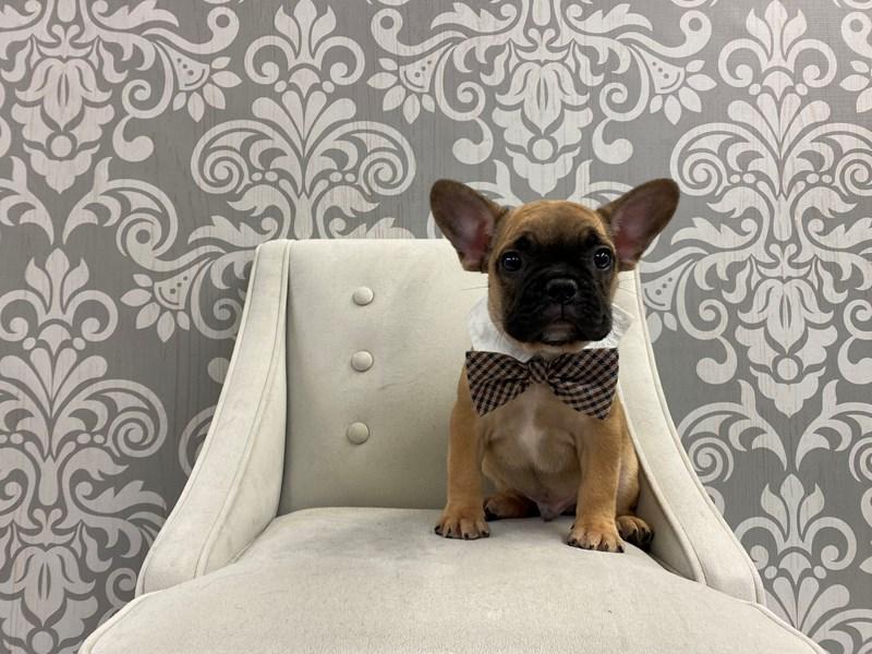 French Bulldog-Male-Fawn-2954643-Furry Babies