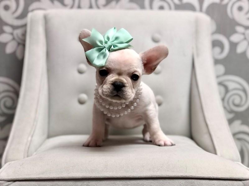 French Bulldog-Female-Cream-2958188-Furry Babies
