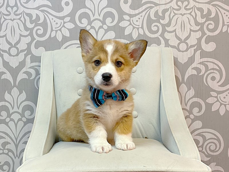 Pembroke Welsh Corgi-Male-RED WH-2963467-Furry Babies