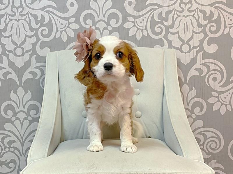 Cavalier King Charles Spaniel-Female-Blenheim-2963454-Furry Babies