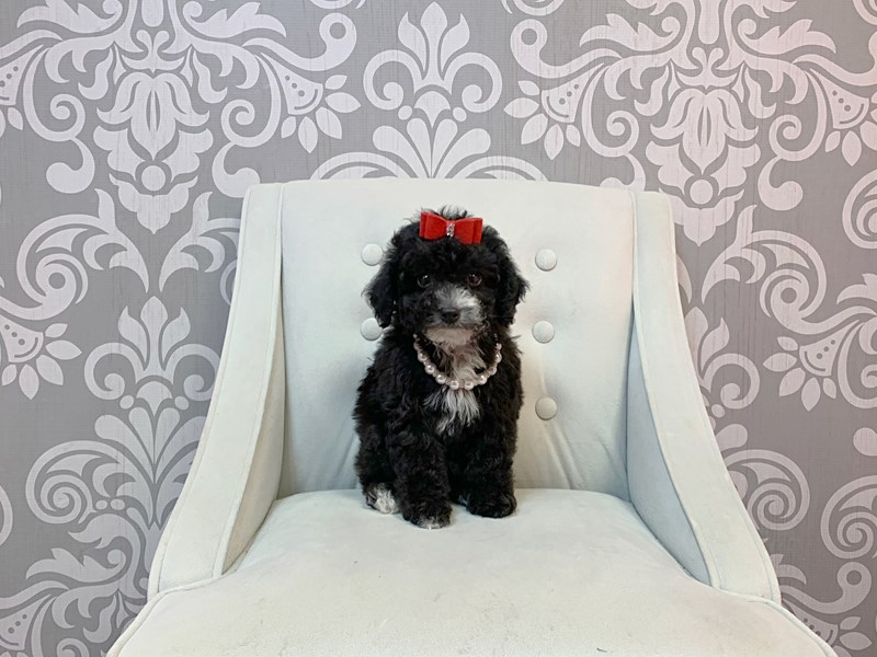Poodle-Female-BLK WHITE-2963179-Furry Babies