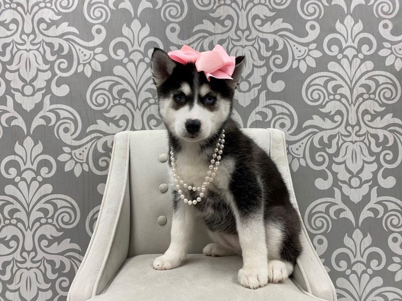 Pomsky-Female-Black & White-2963485-Furry Babies