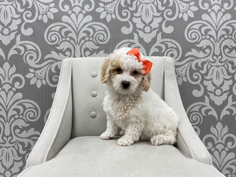 Miniature Poodle-Female-RED WH-2963192-Furry Babies