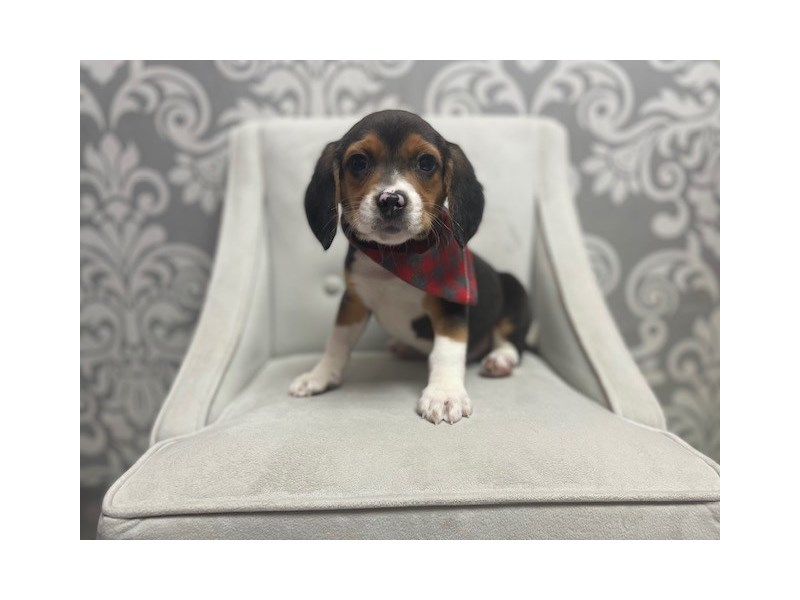 Beagle-Male-Black-2973656-Furry Babies