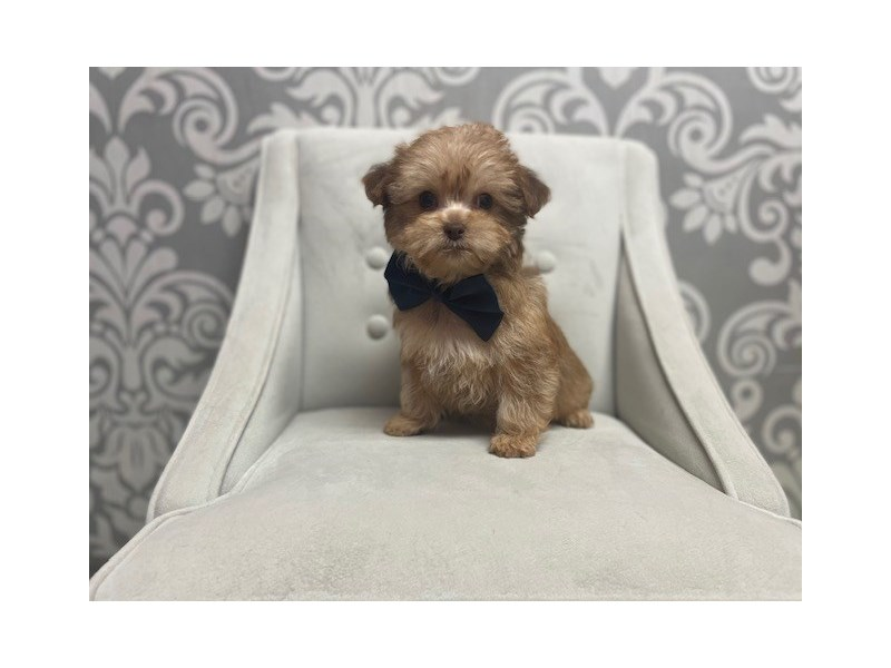 Yorkiepoo-Male-Apricot-2964895-Furry Babies
