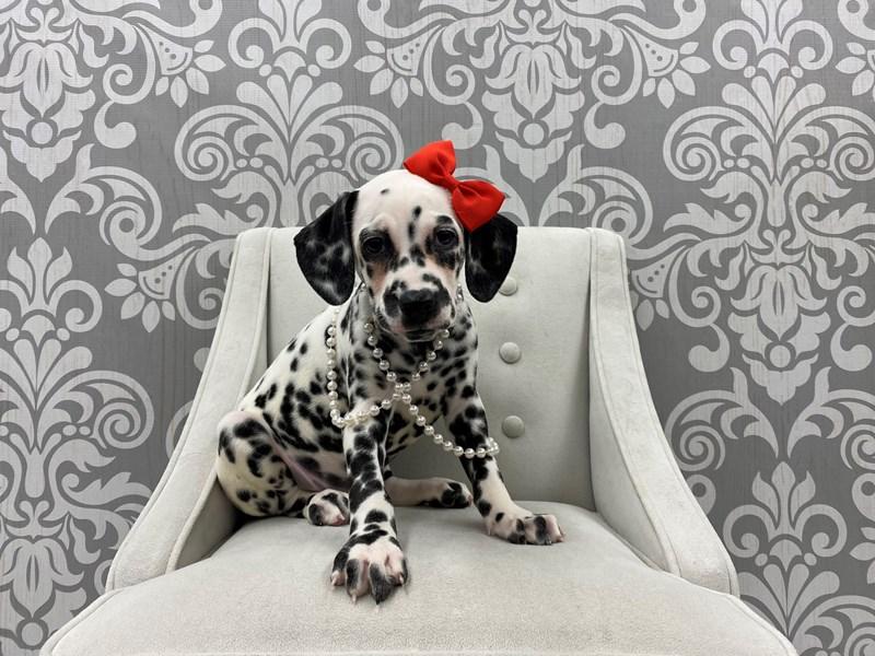 Dalmatian-Female-Black & White-2983752-Furry Babies