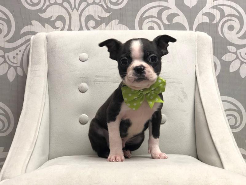Boston Terrier-Male-Blk Brdl & Wh-2983024-Furry Babies