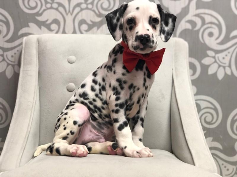 Dalmatian-Male-Blk & Wh-2983018-Furry Babies