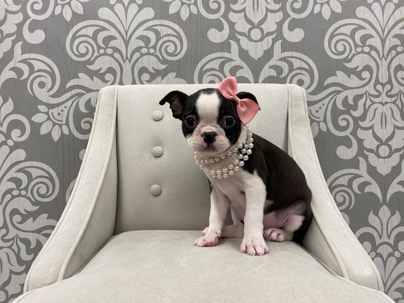 Boston Terrier-Female-Black & White-2983754-Furry Babies