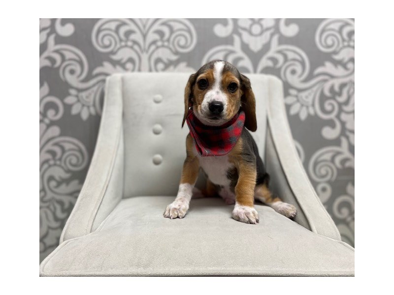 Beagle-Male-black white & tan-2990992-Furry Babies