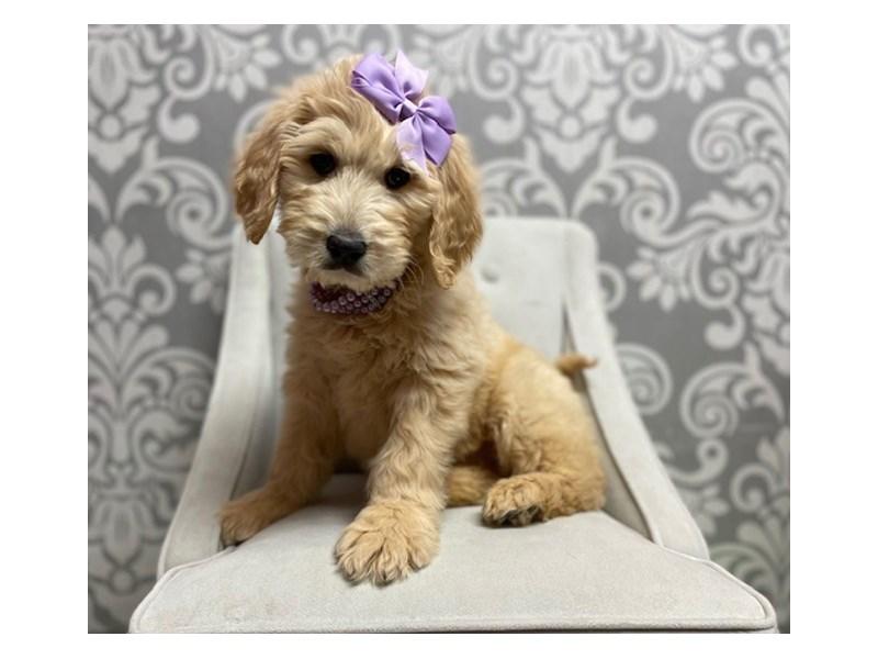 Goldendoodle-Female-golden-2991020-Furry Babies