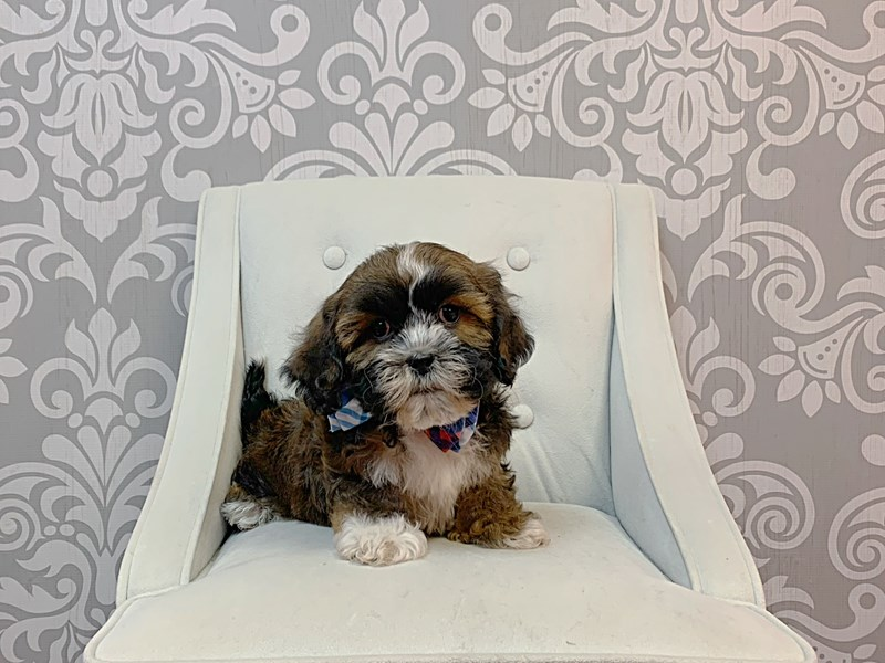 Lhasa Apso-Male-BROWN WH-2988117-Furry Babies