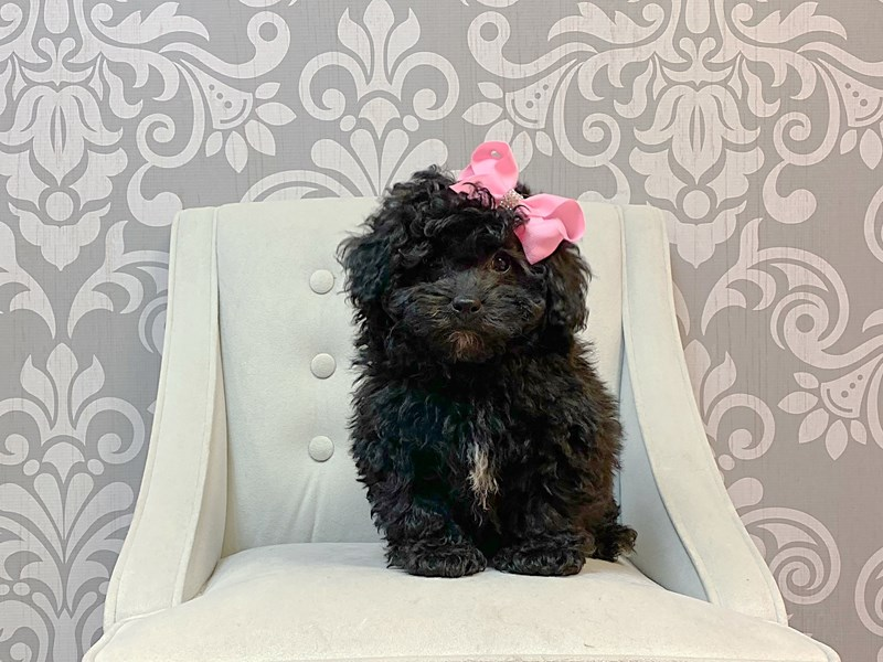 Poodle-Female-Black-2988318-Furry Babies